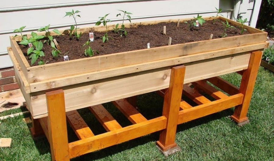 Newly transplanted vegetable seedlings into an elevated self-watering planter box.