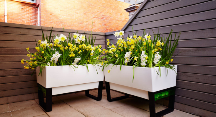 Two white wooden self-watering planter box full of yellow flowering plants.