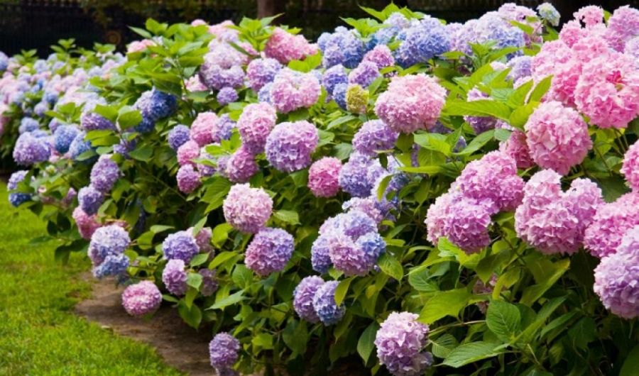 Colorful flowering hydrangeas hedge in the park.