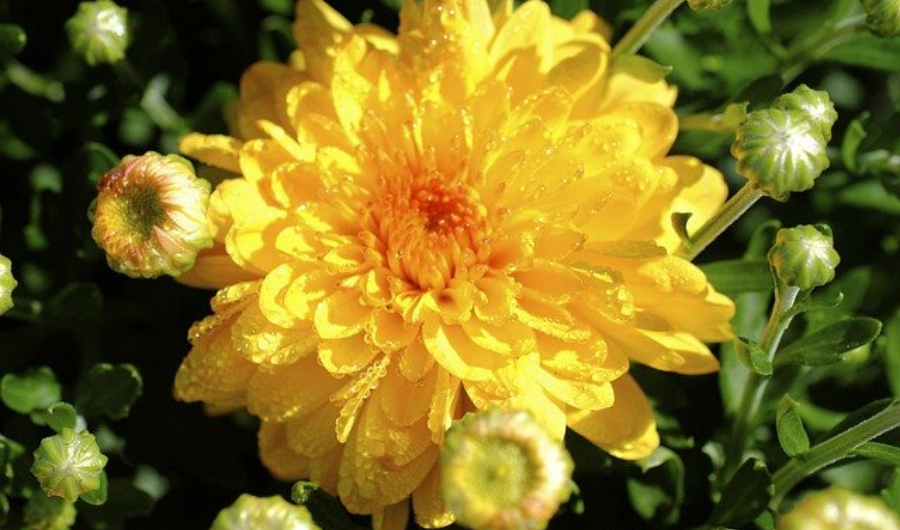 Yellow Chrysanthemum in bloom with multiple buds.