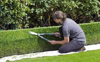 A woman trimming her green hedge with shears