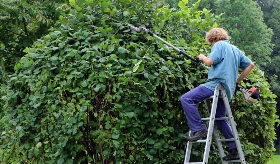 A landscaper with powered-trimmer on top of a ladder, pruning the top section of the hedge.