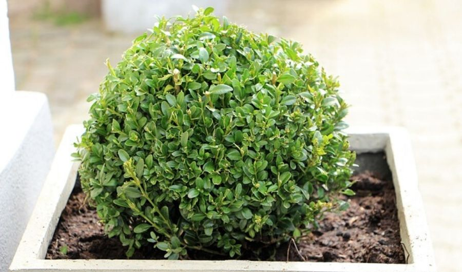 Newly trimmed ball-shaped young boxwood.
