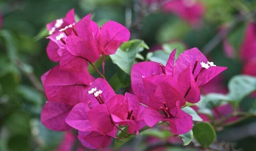 A cluster of pink bougainvillea flowers.