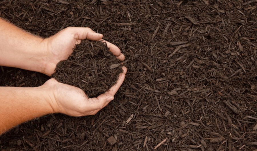 A handful of dyed wooden chip mulch in brown color.