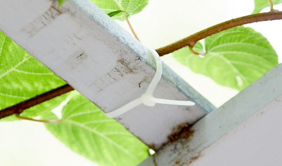 White zip tie used to fasten grapevines on the wood.