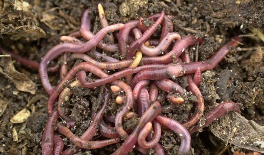 Red worms on the soil.