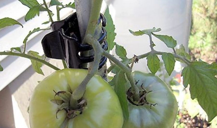 A black hair clip used to fasten tomato on a stake.
