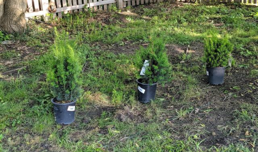 Hedge seedling in three black plastic containers position in the ground with a few inches of spacing.