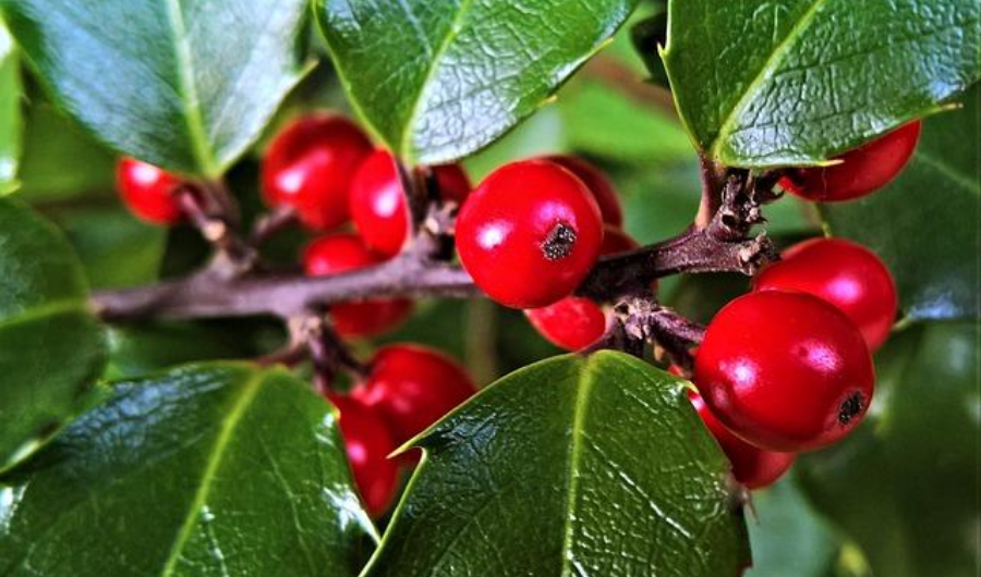 The American Holly with a cluster of red berries