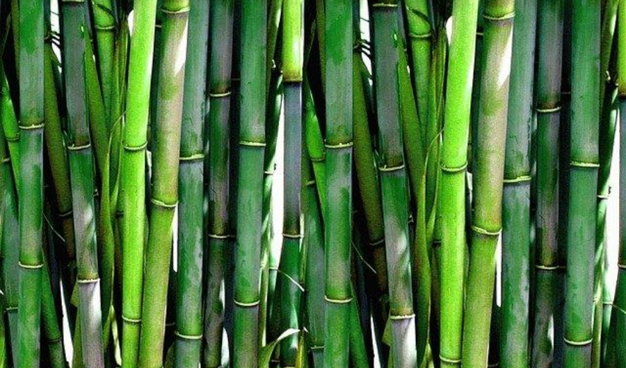 Living bamboo fence