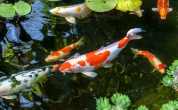 Colorful fish and aquatic flowering plants in a pond.