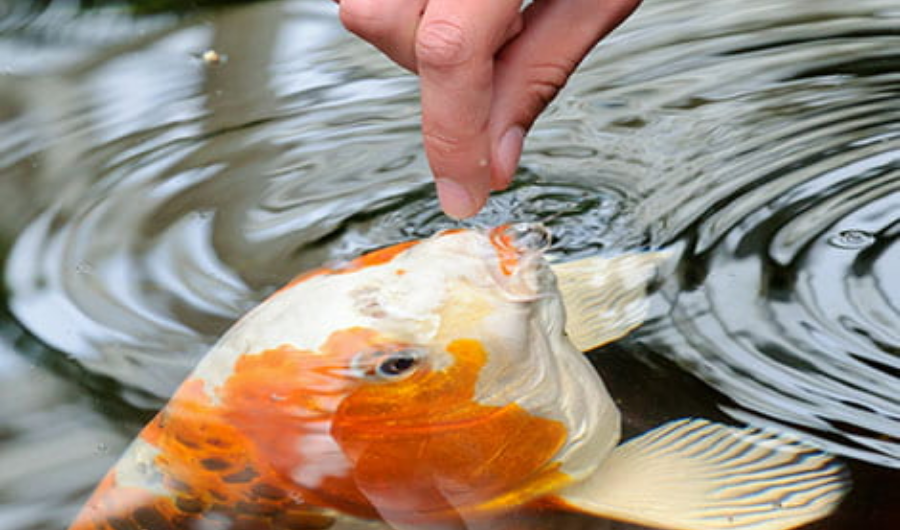 Handfeeding the goldfish in the pond.