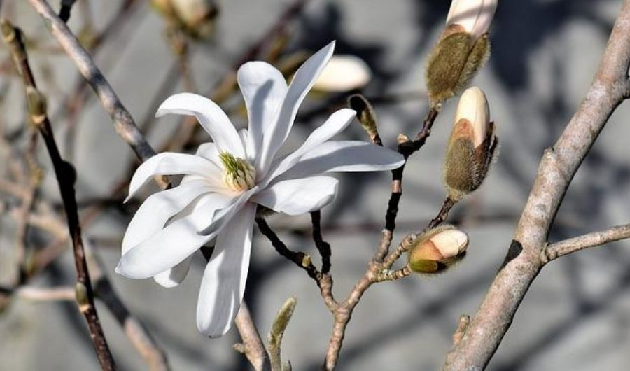 Royal Star Magnolia flower in bloom with multiple buds