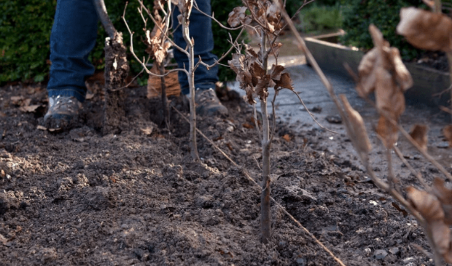 Plant the bare-root with a string guide to maintain correct hedge spacing.