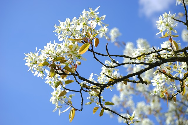 Amelanchier clusters of white flowers
