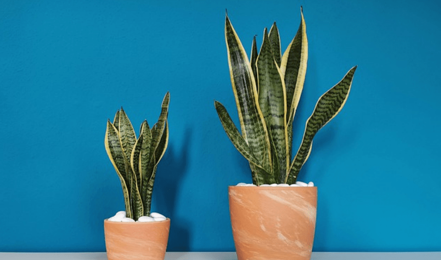 Set of two snake plants in clay container pots.