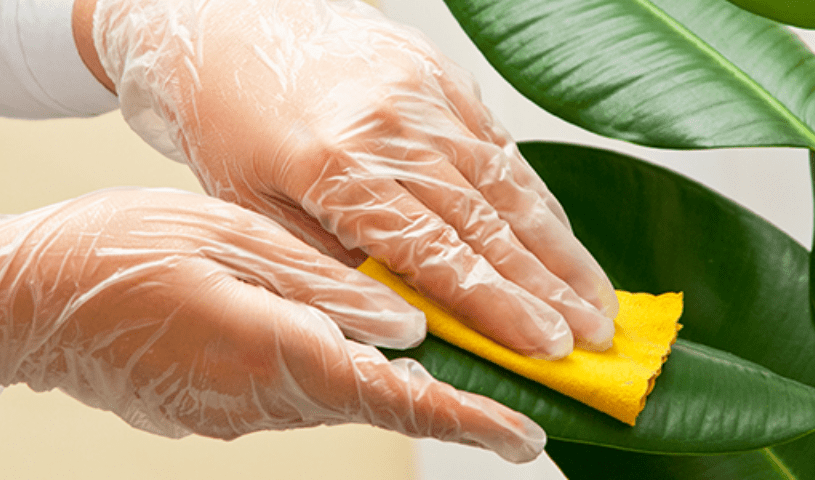 Dusting houseplant leaves with a yellow rag
