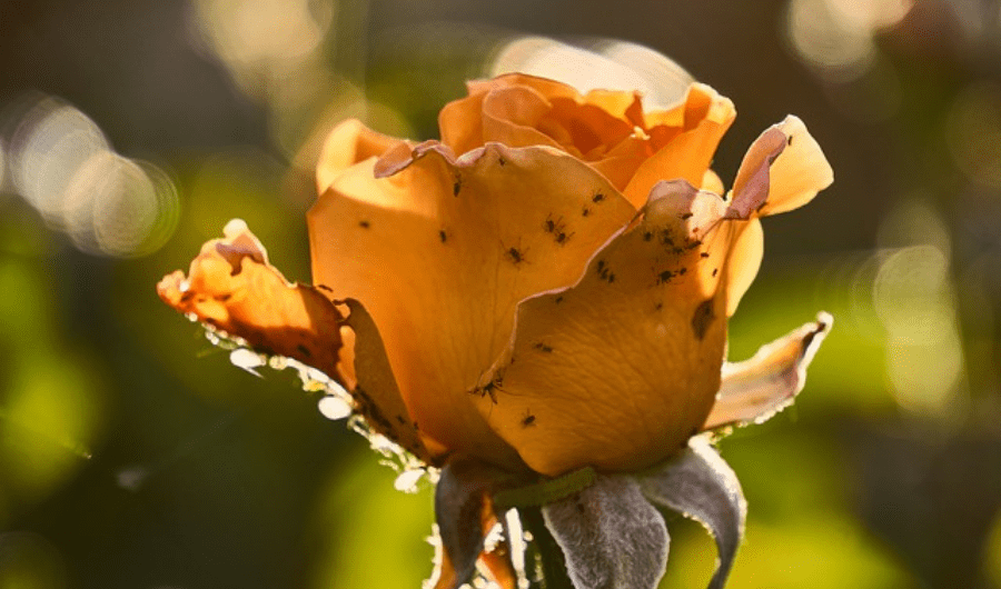 An infestation of plant lice in a yellow rose.