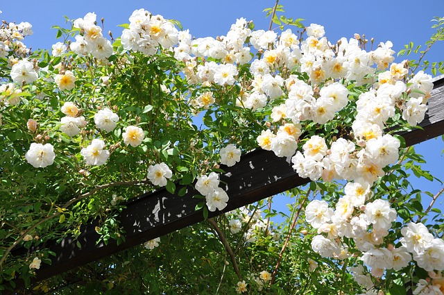 Climbing rose in wooden pergola with massive white blooms.