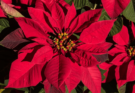The vibrant bracts of red poinsettia make the best outdoor and indoor Christmas plant.