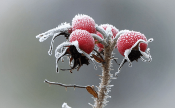 Four rosehips covered in frost.