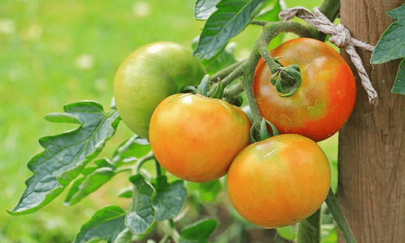 Fruiting tomatoes tied on a wooden stake