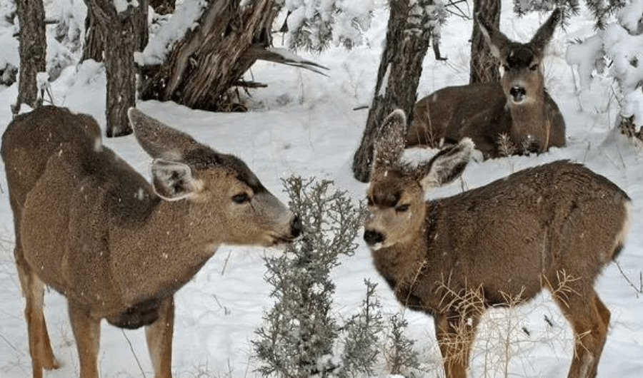 Three brown deer with two feeding on an evergreen shrub while the other is sitting next to a tree trunk.
