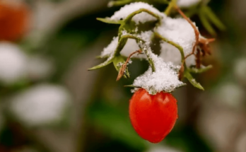 One frosty tomato fruit.
