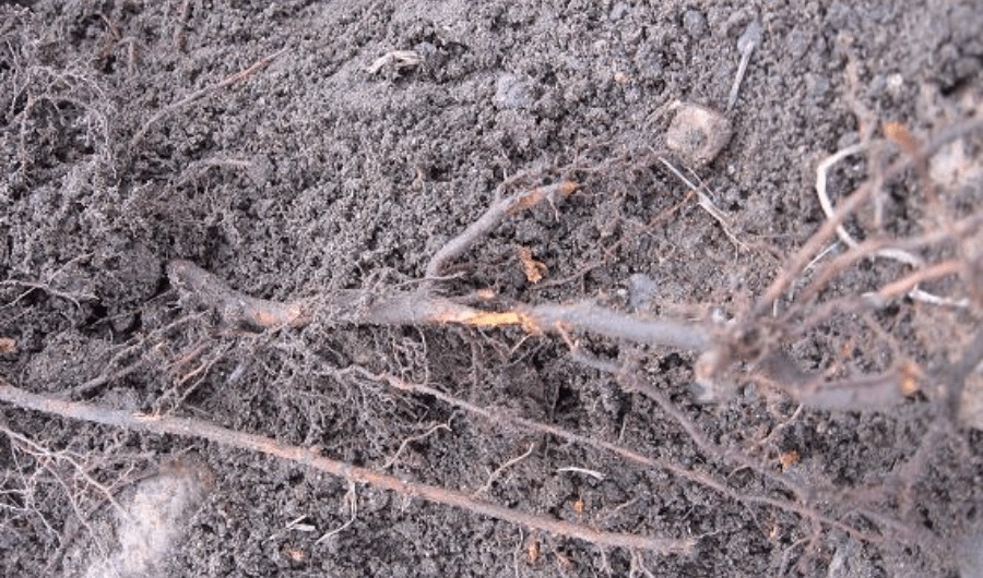 Damage root tissues of a young tree due to winter injury.