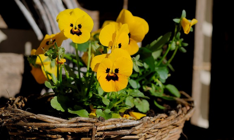 Yellow pansies in a basket