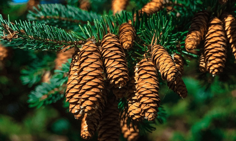 Fir tree with mature cones.