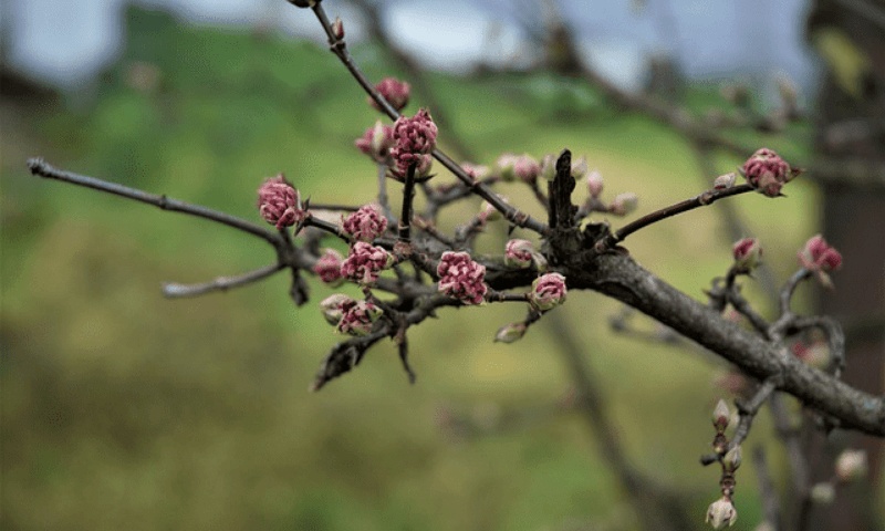 A leafless Viburnum Bodnantense covered in pink blossoms