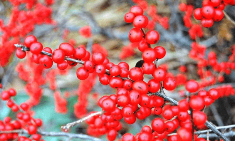The winterberry red berries