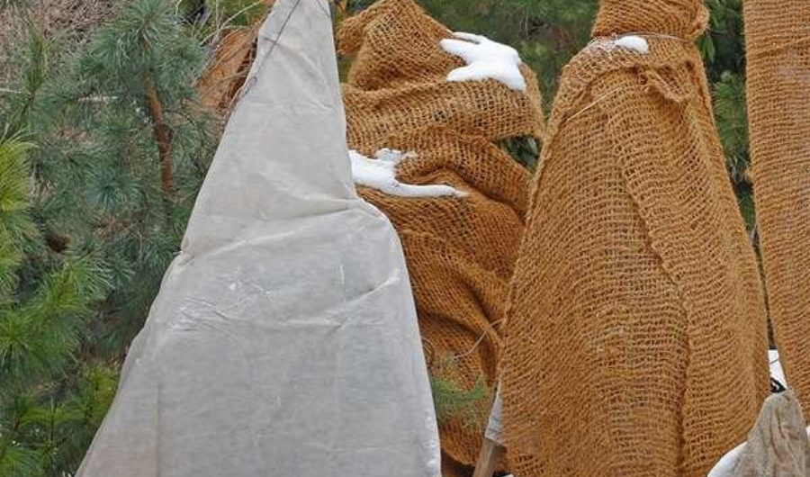 Young evergreen trees in the park wrapped with burlap for winter protection.