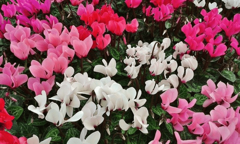 Cyclamen plant with red, pink, and white blooms