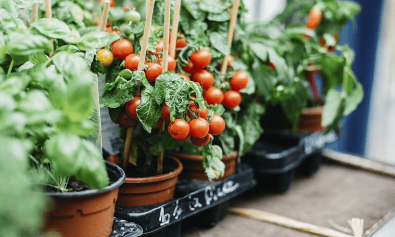 Fruiting tomatoes grown in plastic container pots