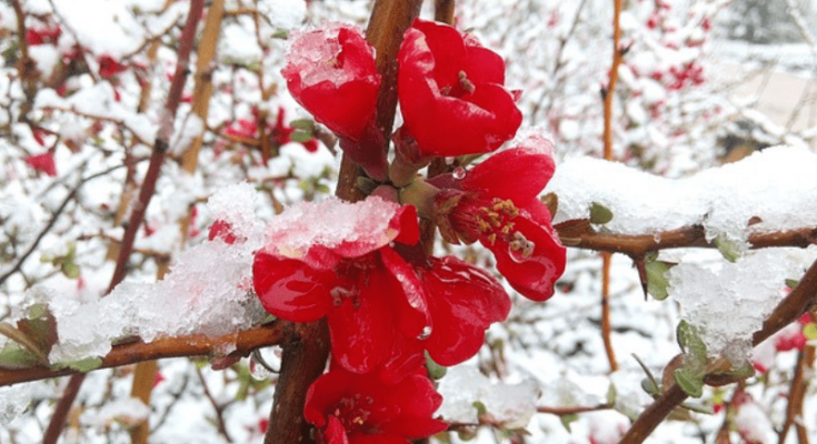 Japanese quince in blooms.