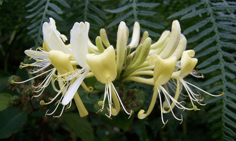 A cluster of white Lonicera flowers