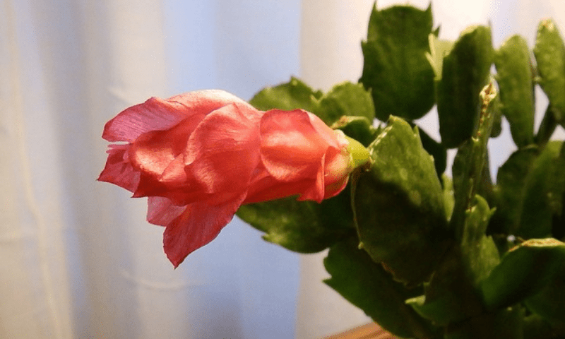 Christmas cactus with a red-orange flower