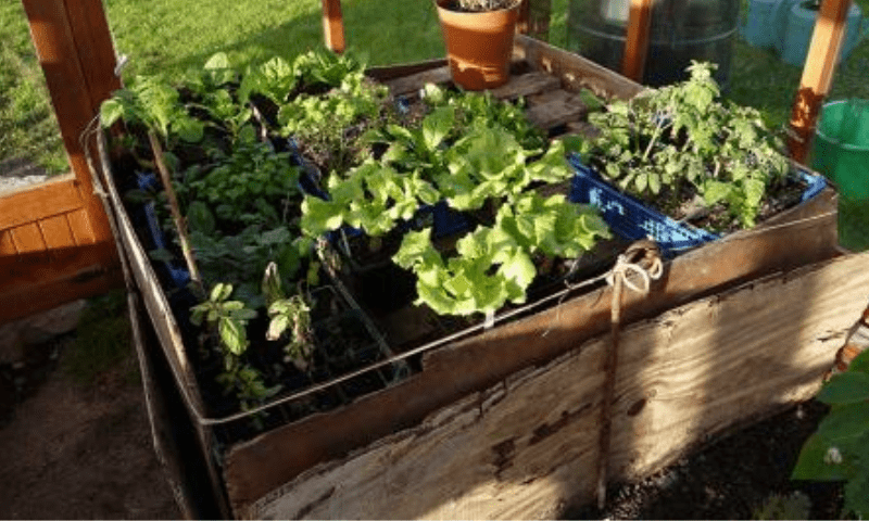 Vegetable seedlings placed on top of a compost bin inside a greenhouse
