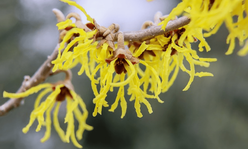 Witch hazel in yellow blooms