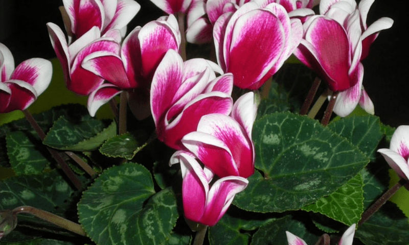 A Cyclamen Christmas plant features pink and white heart-shaped flowers