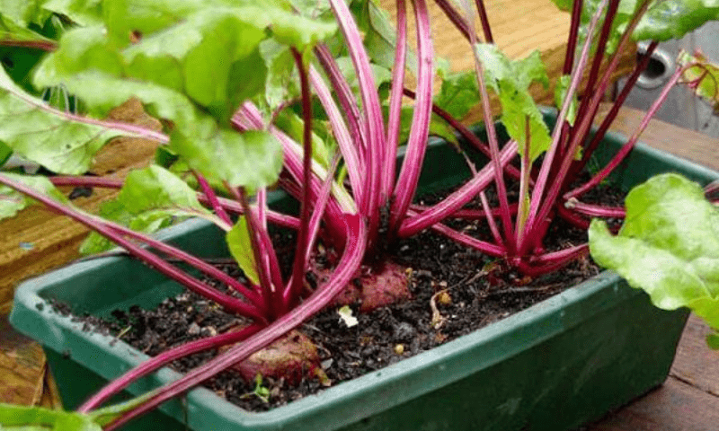 Growing beets in a green rectangular plastic pot