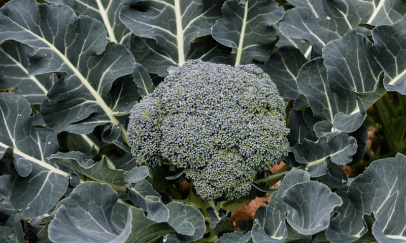 Broccoli plant in a container pot
