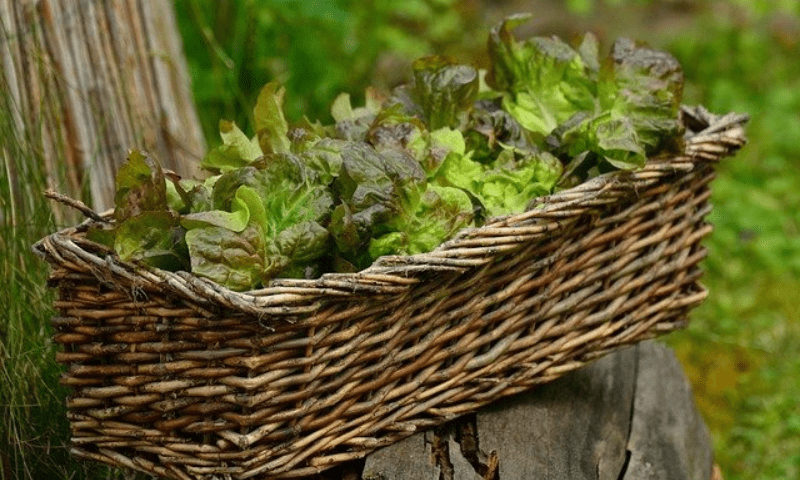 Lettuce vegetables in a rectangular basket made of wattles
