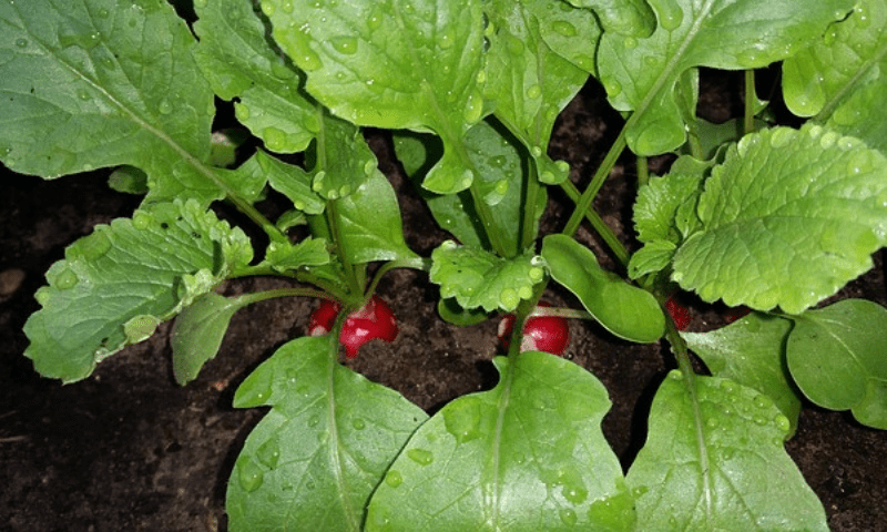 Three radish plants