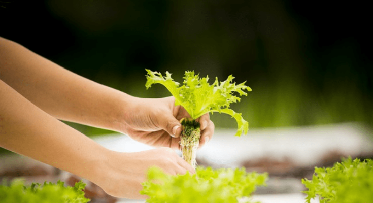 Harvest the lettuce that is grown hydroponically.