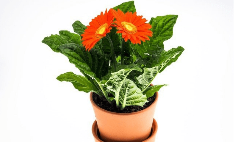 Potted gerbera plant with orange flowers