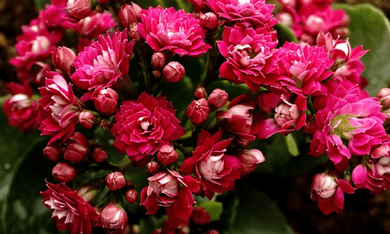 Potted kalanchoe with red blooms